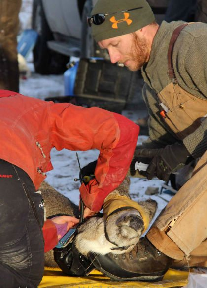 UW researcher Matthew Hayes helps secure a GPS collar onto a mule deer in a project to determine if and how deer and elk compete for resources in areas where their habitat overlaps. (Wyoming Game and Fish Department Photo)